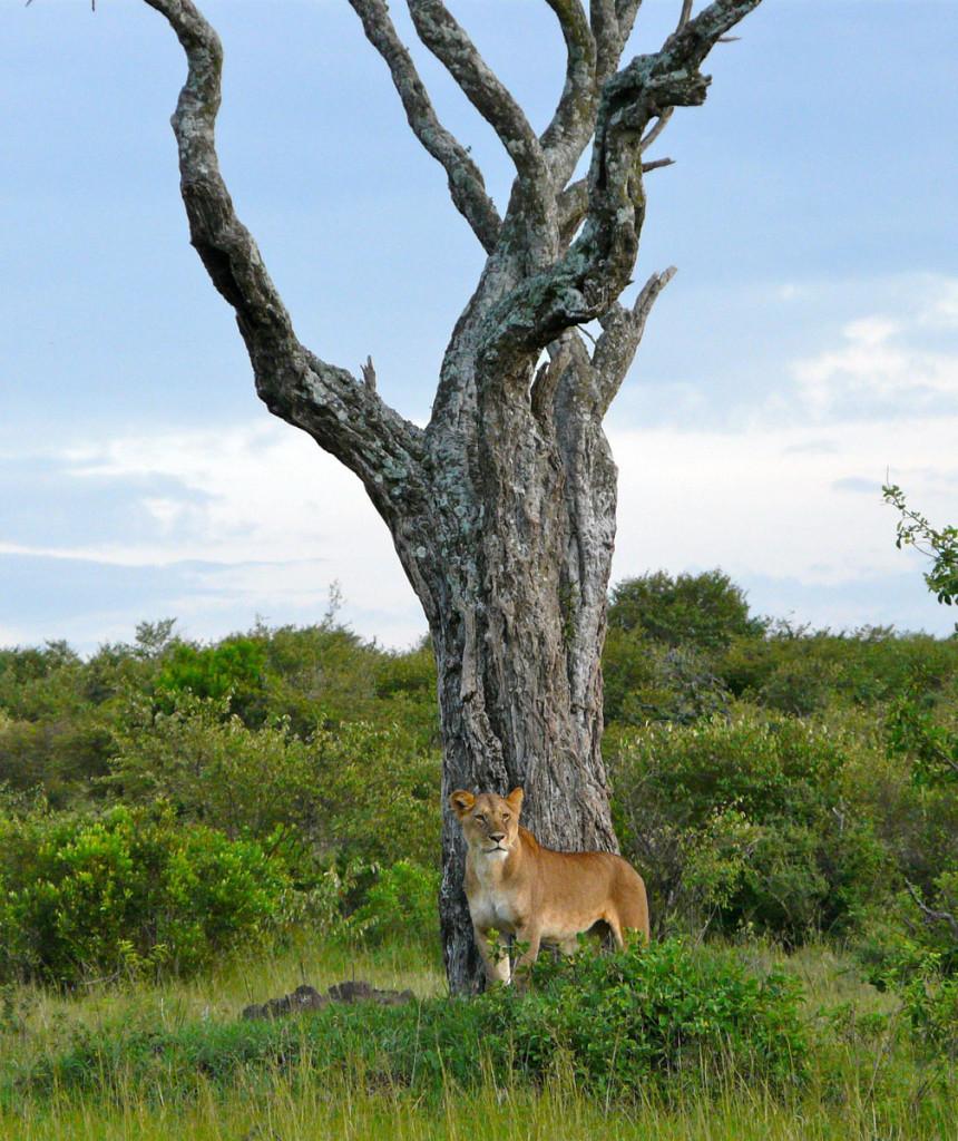 lioness, kenya, 2008