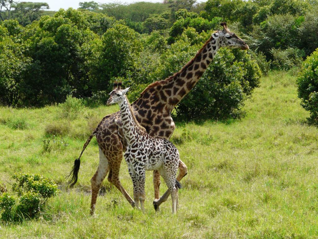 giraffe, kenya, 2008