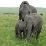 elephants, tanzania, 2009