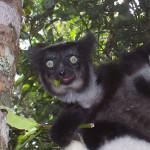 indri, madagascar, 2007