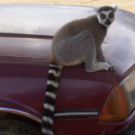 ring tail lemur, madagascar, 2007