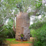 1000 year old baobab, madagascar, 2007