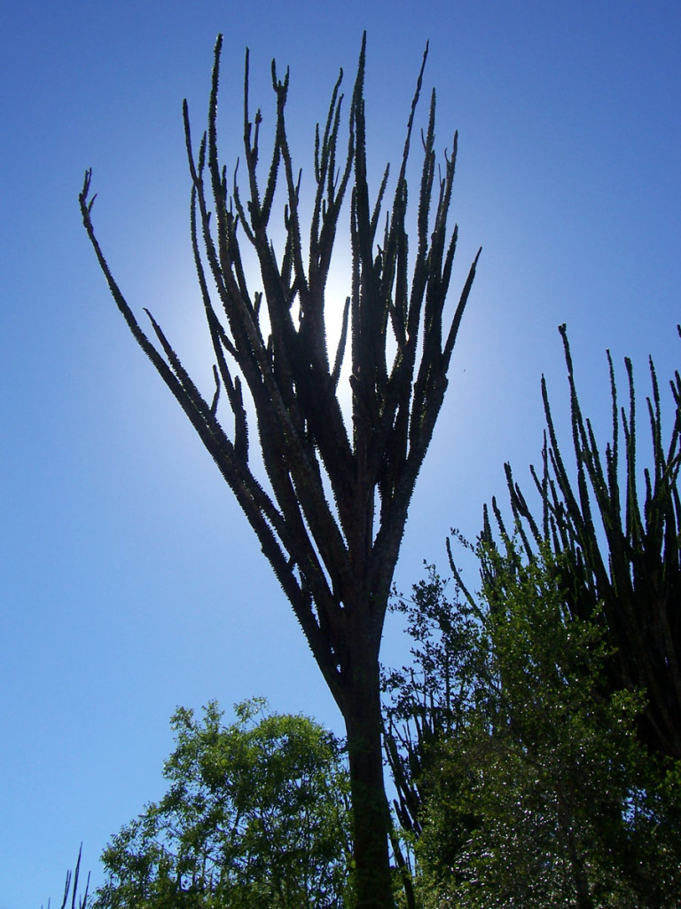 octopus tree, madasgascar, 2008