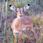 impala, south africa, 2007