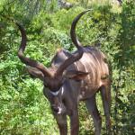 kudu, south africa, 2007