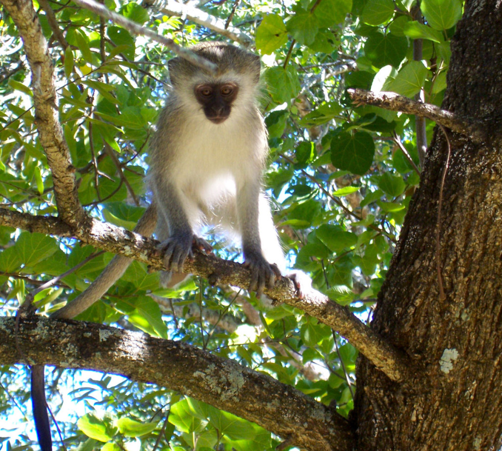 vervet monkey, south africa, 2007