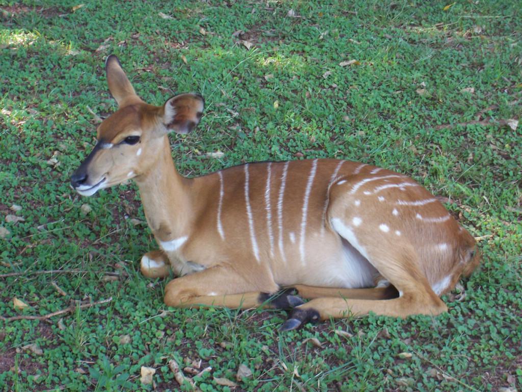 nyala, swaziland, 2007
