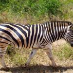 zebra, south africa, 2007