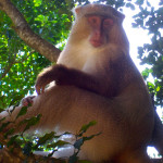 somango monkey, south africa, 2007