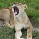 lion cub, kenya, 2008
