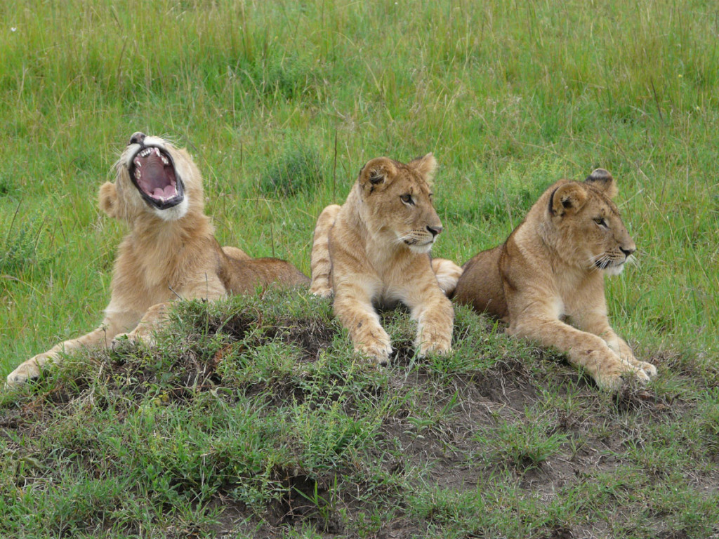 lion cubs, kenya, 2008