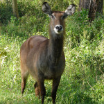 waterbuck, kenya, 2008
