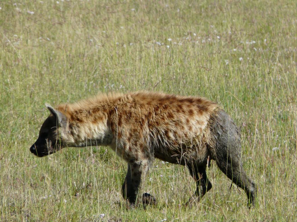 spotted hyaena, kenya, 2008