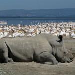 white rhino, kenya, 2008