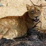 lion, uganda, 2008