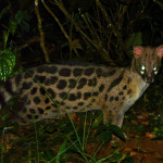 small spotted genet, uganda, 2008