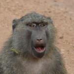 baboon, uganda, 2008