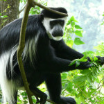 black and white colobus monkey, uganda, 2008