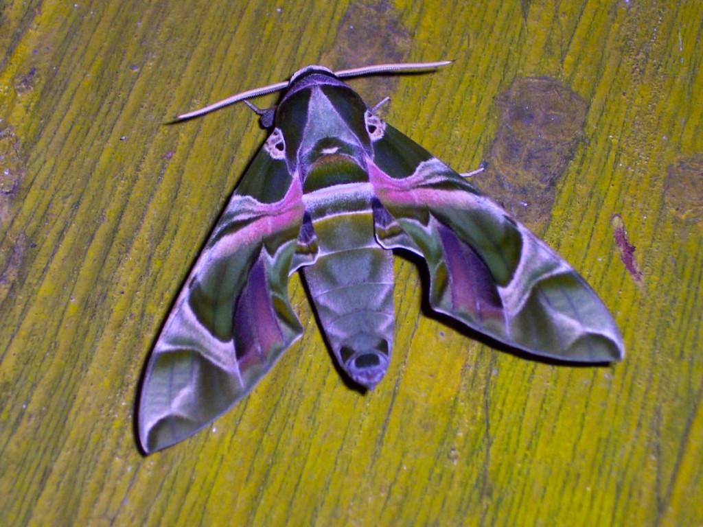 oleander hawk moth, ghana, 2005