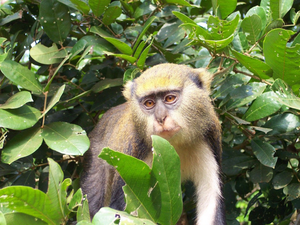 mona monkey, ghana, 2005