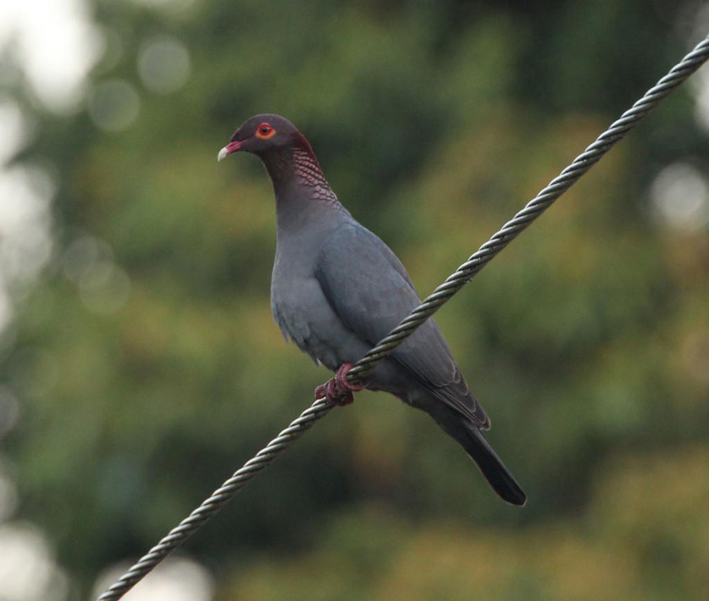 IMG_0111_pigeoncrop