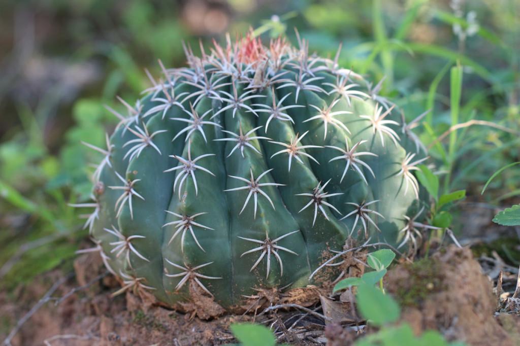 barrel cactus, colombia, 2013