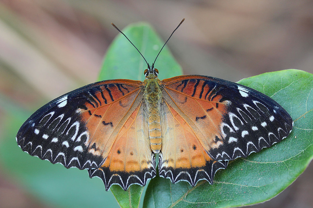 red lacewing, thailand, 2012