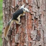 finlayson's squirrel, thailand, 2012