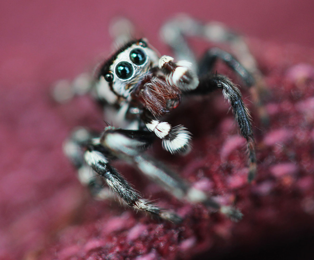 IMG_2047_mods_jumpingspider