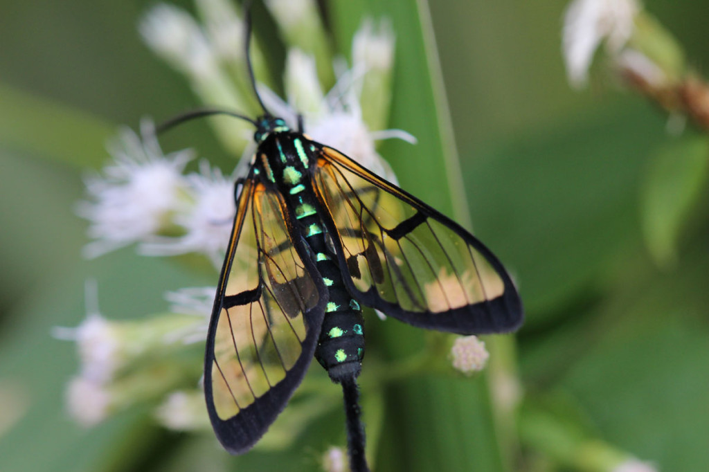 wasp mimic moth, colombia, 2013