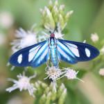 ctenuchid moth, colombia, 2012