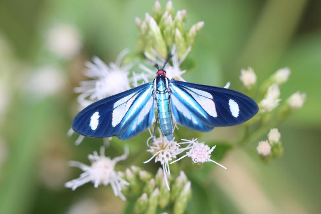 ctenuchid moth, colombia, 2013
