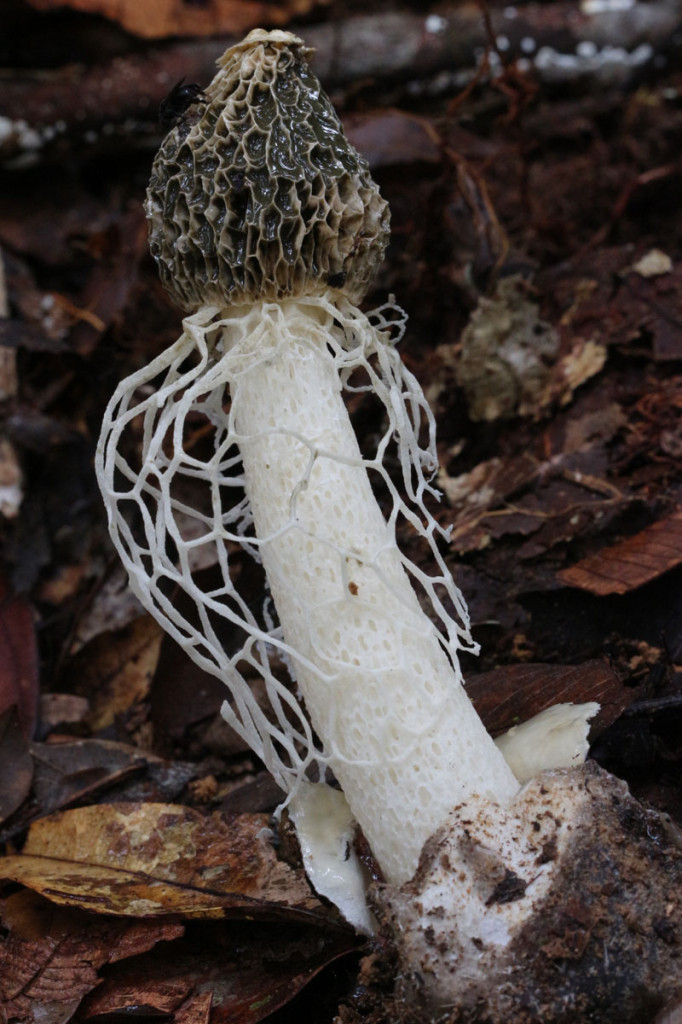 veiled stinkhorn, colombia, 2012