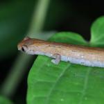 climbing salamander, colombia, 2012