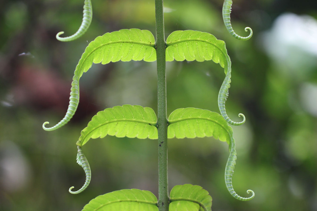 moustache fern, colombia, 2013