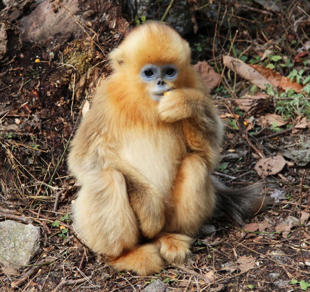 golden snub-nose monkey juvenile, china, 2012