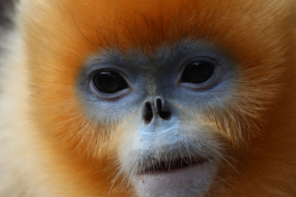 golden snub-nose monkey, china, 2012