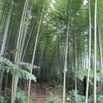 bamboo forest, china, 2012