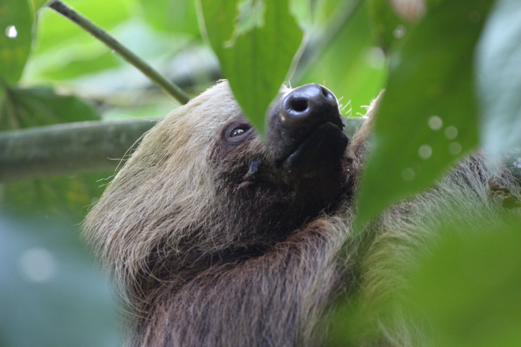 three toed sloth, colombia, 2013