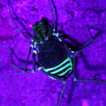 harvestman under UV light, colombia, 2013