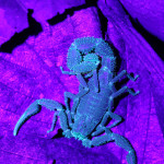 scorpion under UV light, colombia, 2013
