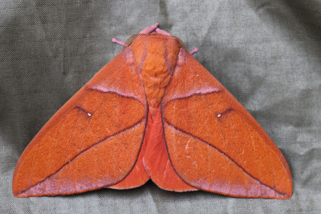 saturniid moth, colombia, 2013