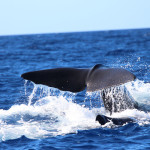 sperm whale, dominica, 2013