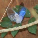 black-naped monarch, vietnam, 2012