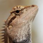 variable lizard, thailand, 2012