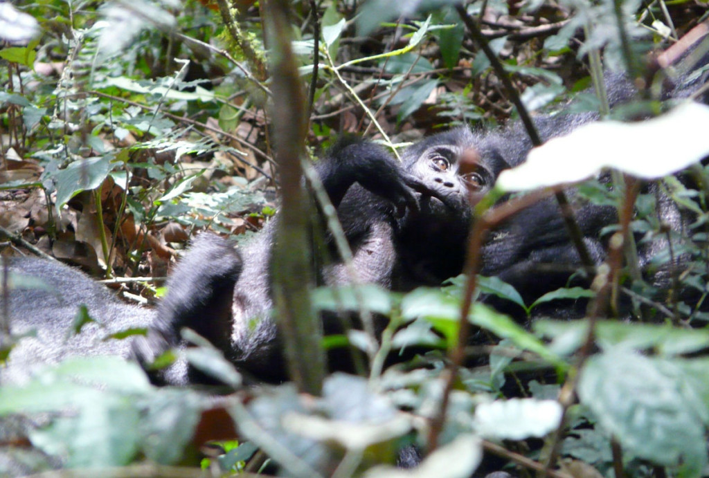 mountain gorilla infant, uganda, 2009