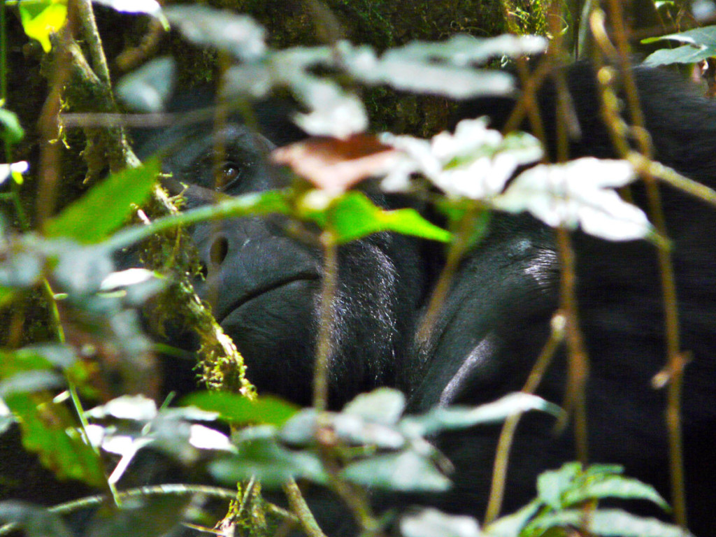 mountain gorilla, uganda, 2009