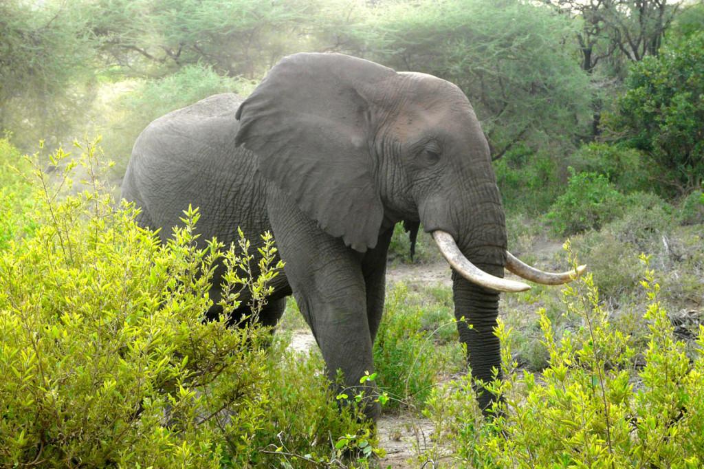 elephant, tanzania, 2009