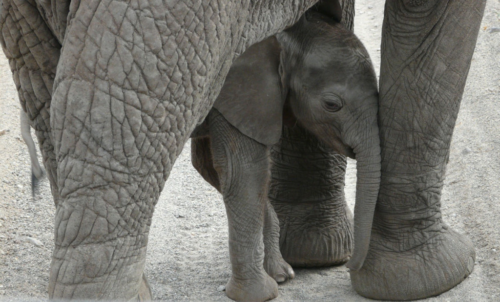 elephant calf, tanzania, 2009