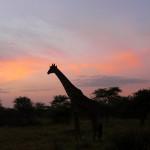 giraffe, tanzania, 2009